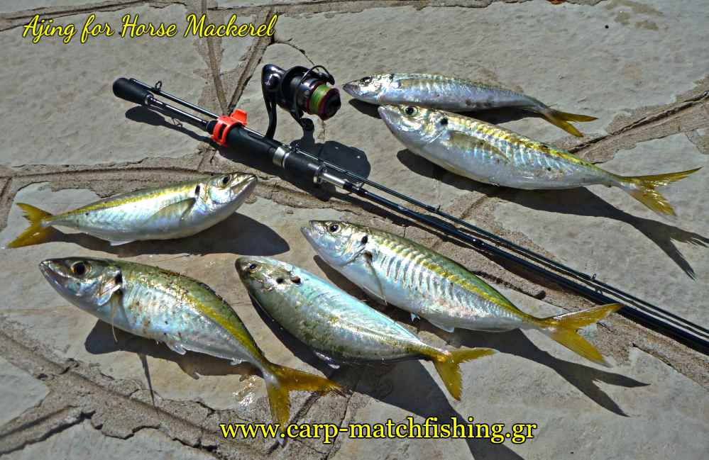 ajing-for-horse-mackerel-kokkalia-carpmatchfishing