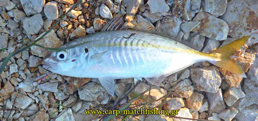 horse-mackerel-ajing-metal-jig-carpmatchfishing