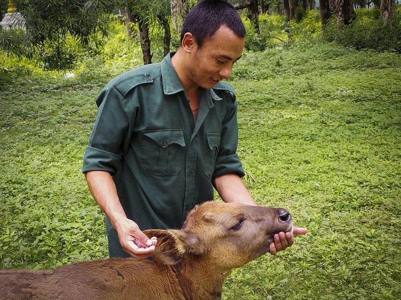 Ranger_feeds_rescued_Gaur_calf Οι φύλακες της άγριας ζωής του πλανήτη   Ψάρεμα  - Συζητήσεις - Σκάφος