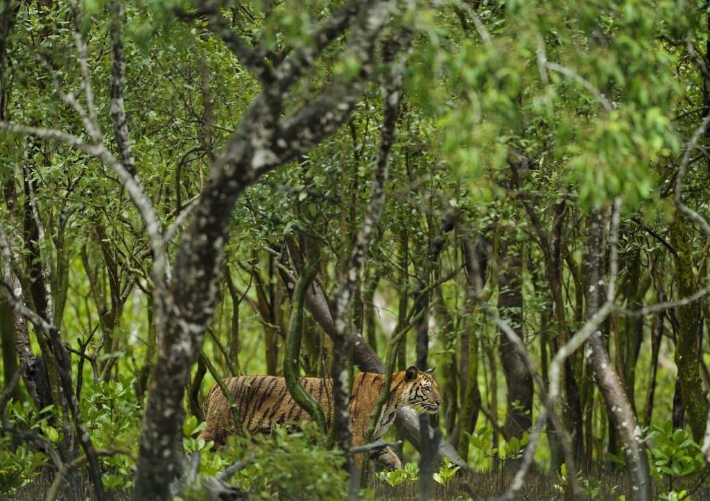 Sundarbans-Tiger-1024x722 Οι τίγρεις αυξάνονται για πρώτη φορά μετά από 100 χρόνια | Ψάρεμα  - Συζητήσεις - Σκάφος