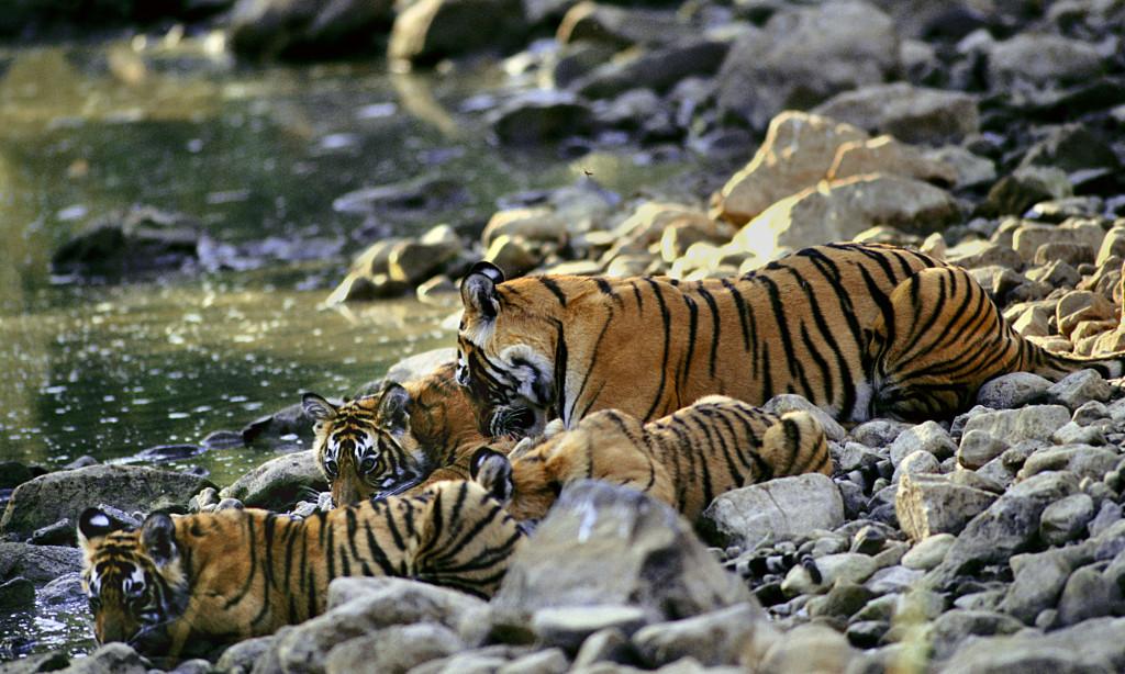 TAI_09-1024x614 Οι τίγρεις αυξάνονται για πρώτη φορά μετά από 100 χρόνια | Ψάρεμα  - Συζητήσεις - Σκάφος
