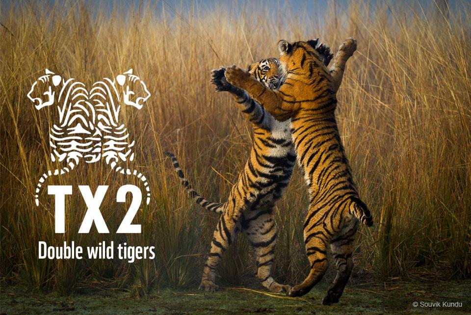 tx2_image___wild_adolescent_tigers__india___souvik_kundu_ Οι τίγρεις αυξάνονται για πρώτη φορά μετά από 100 χρόνια | Ψάρεμα  - Συζητήσεις - Σκάφος