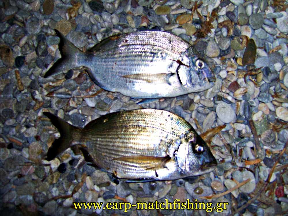 2-sargoi-casting-korinthiakos-carpmatchfishing