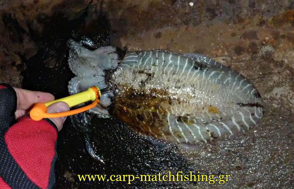 kill-the-cuttlefish-ika-shime-yamashita-carpmatchfishing
