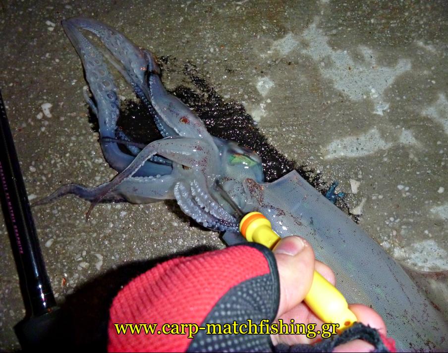 killed-squid-4-ika-shime-carpmatchfishing