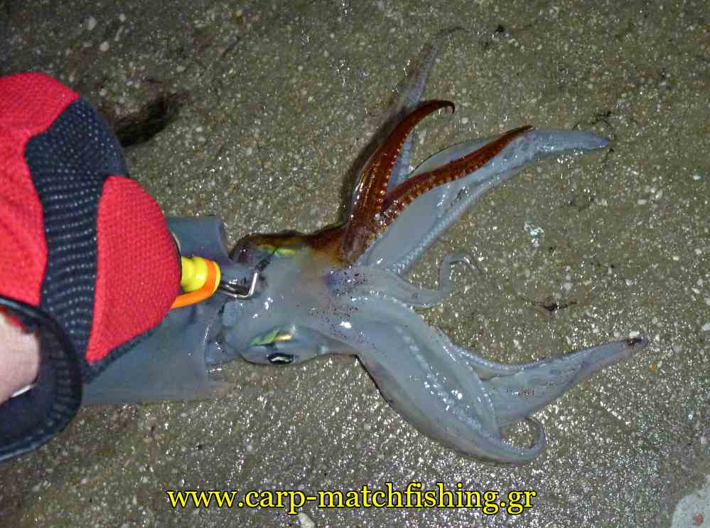 ika-shime-squid-head-carpmatchfishing