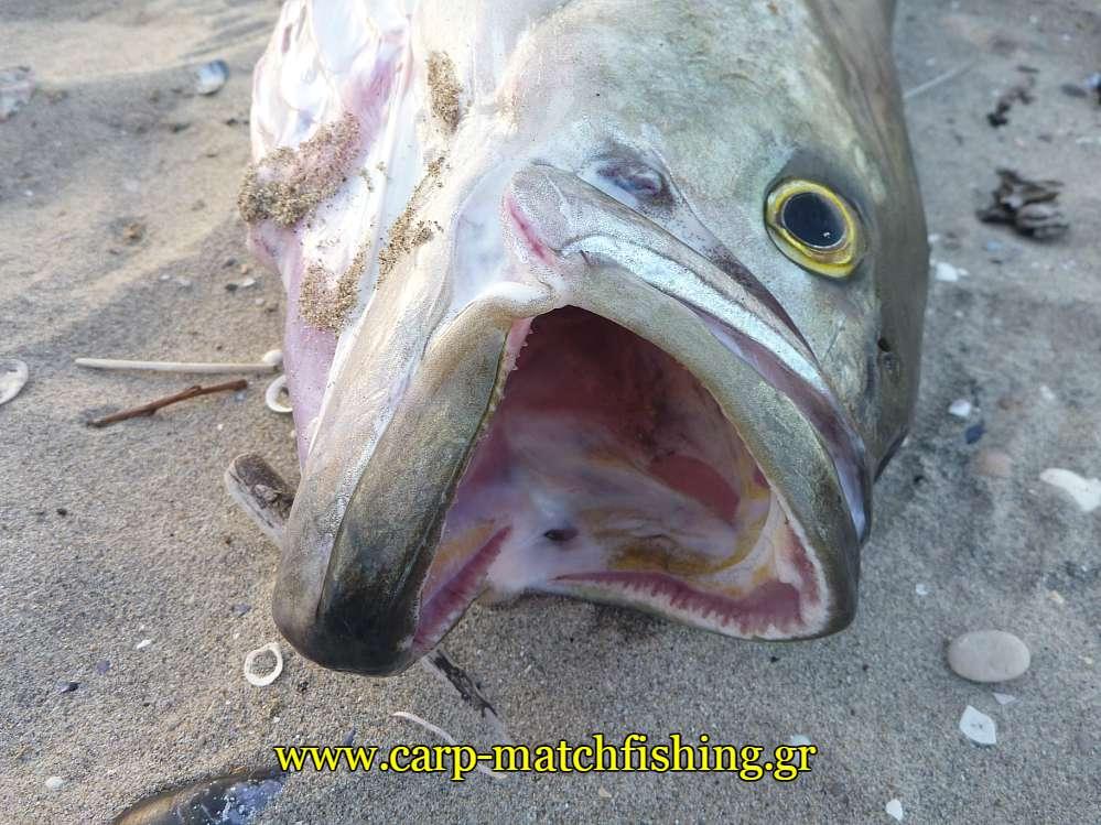 gofari-stoma-dontia-carpmatchfishing