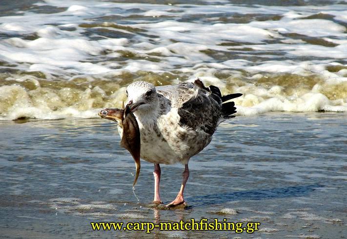glaros troei psaria apo trata petamena carpmatchfishing
