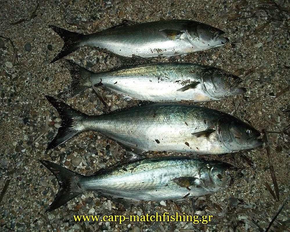 gofaria-casting-ammos-carpmatchfishing