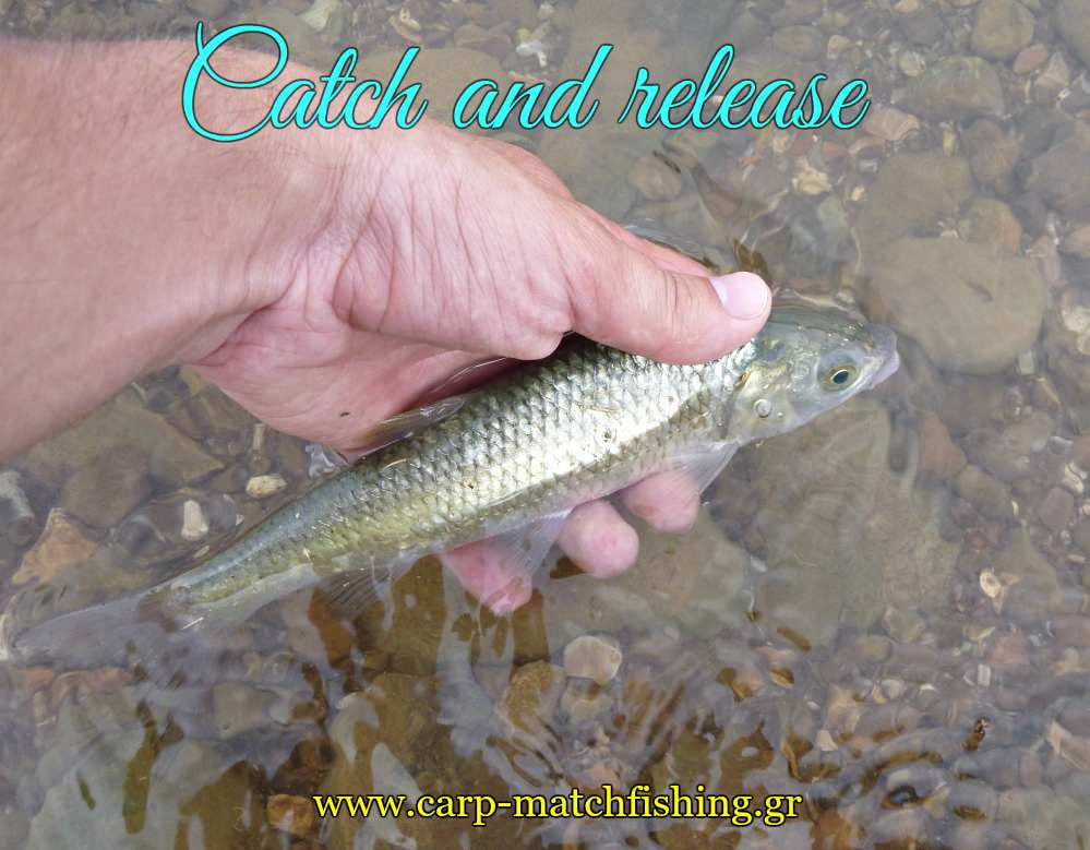 chub-catch-and-release-carpmatchfishing