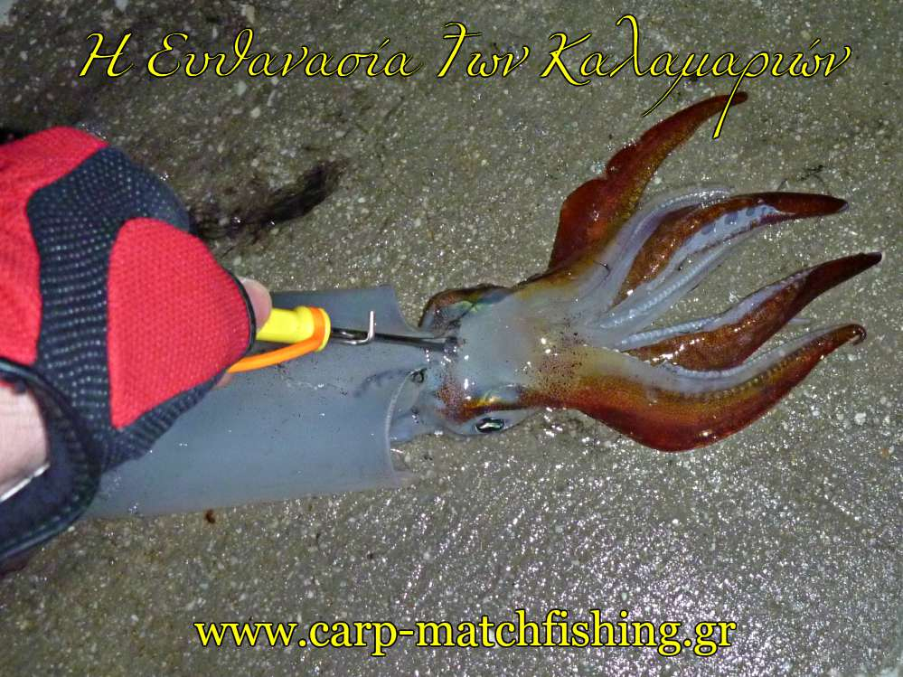 squid-killing-ika-shime-yamashita-carpmatchfishing