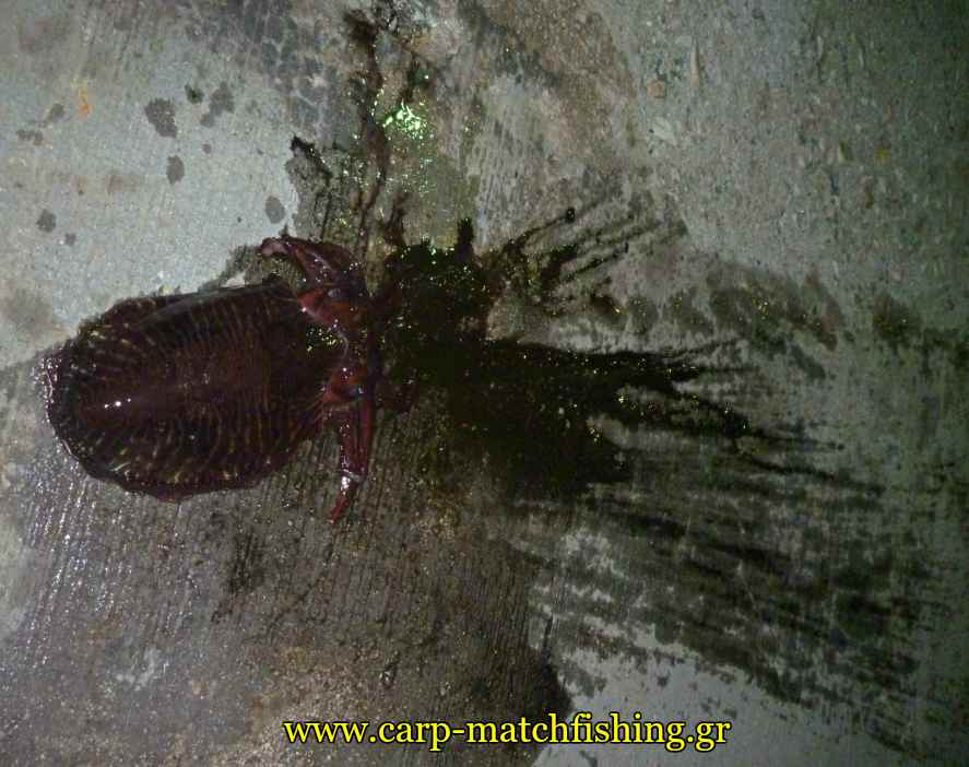eging-cuttlefish-inks-carpmatchfishing