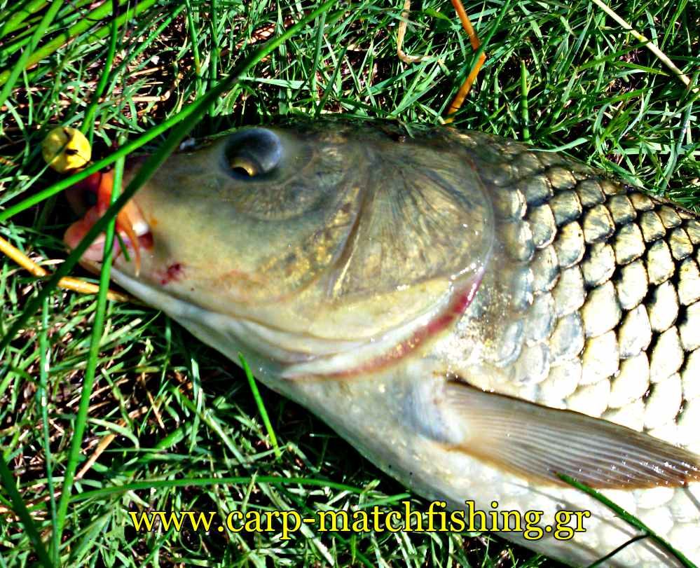 carp-mouth-bait-carpmatchfishing-short-sessions