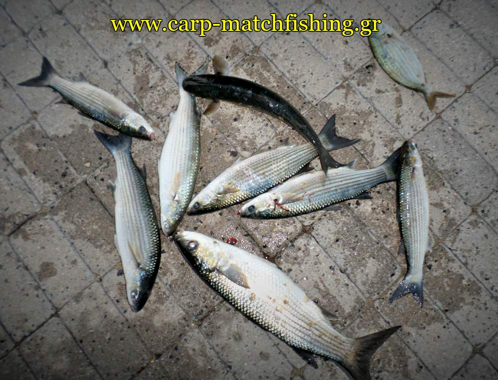 kefaloi-match-fishing-carpmatchfishing