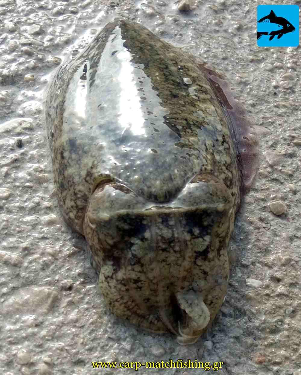 soupia cuttlefish eging carpmatchfishing