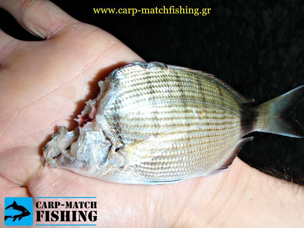 sargos fagomenos apo gofari carpmatchfishing