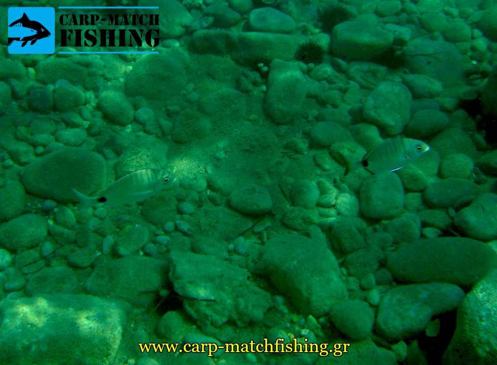 sargoi underwater image casting carpmatchfishing