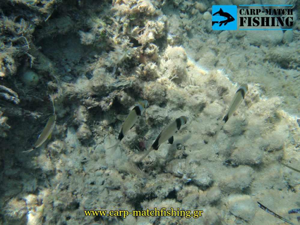 sargoi auliades underwater image casting carpmatchfishing