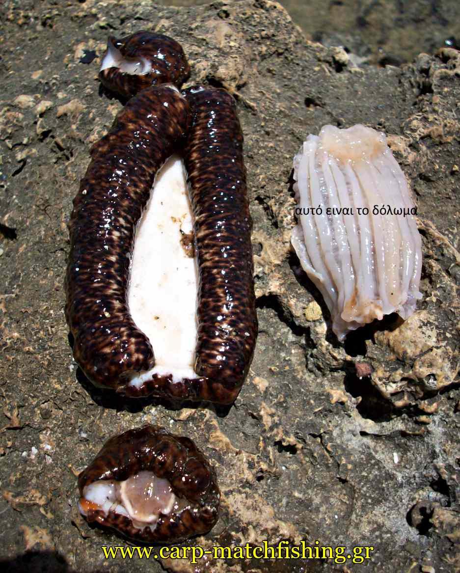 katharismeno-olothourio-doloma-carpmatchfishing