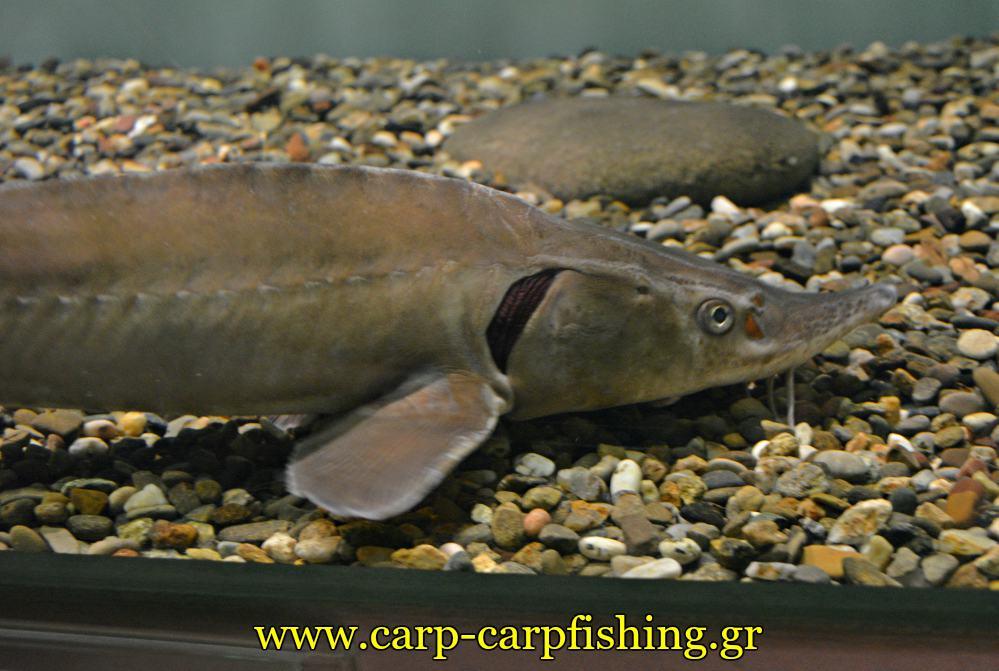 enydreio kastorias oksirinxos stungeon carpmatchfishing