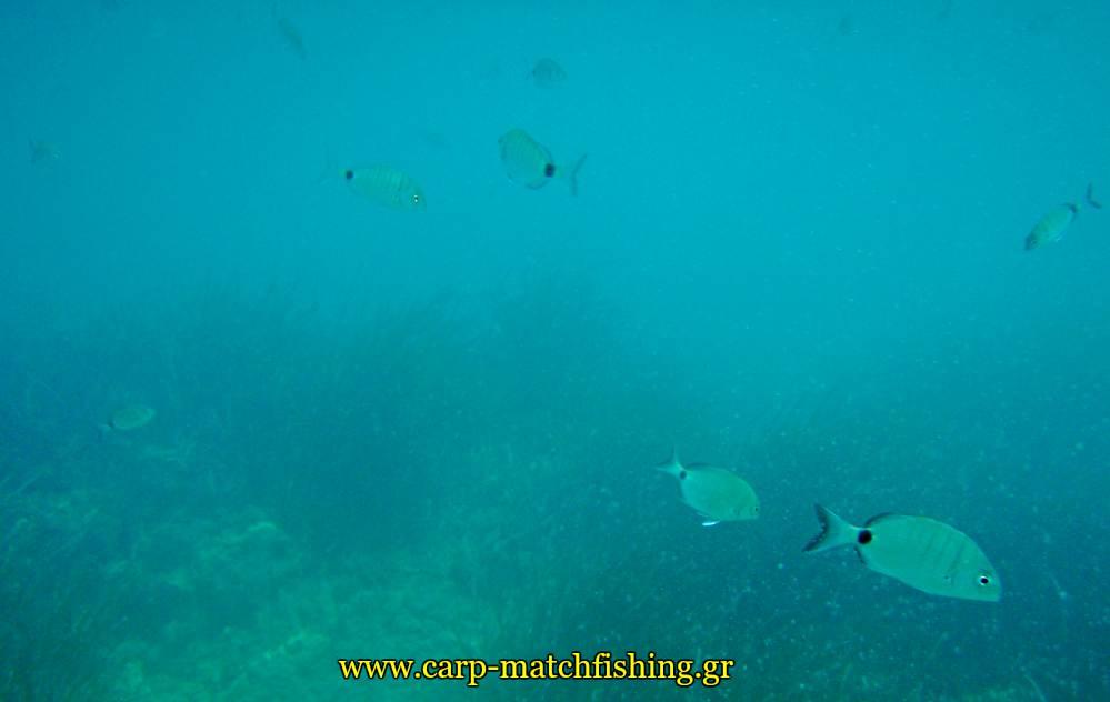 vythos sargoi melanouria carpmatchfishing