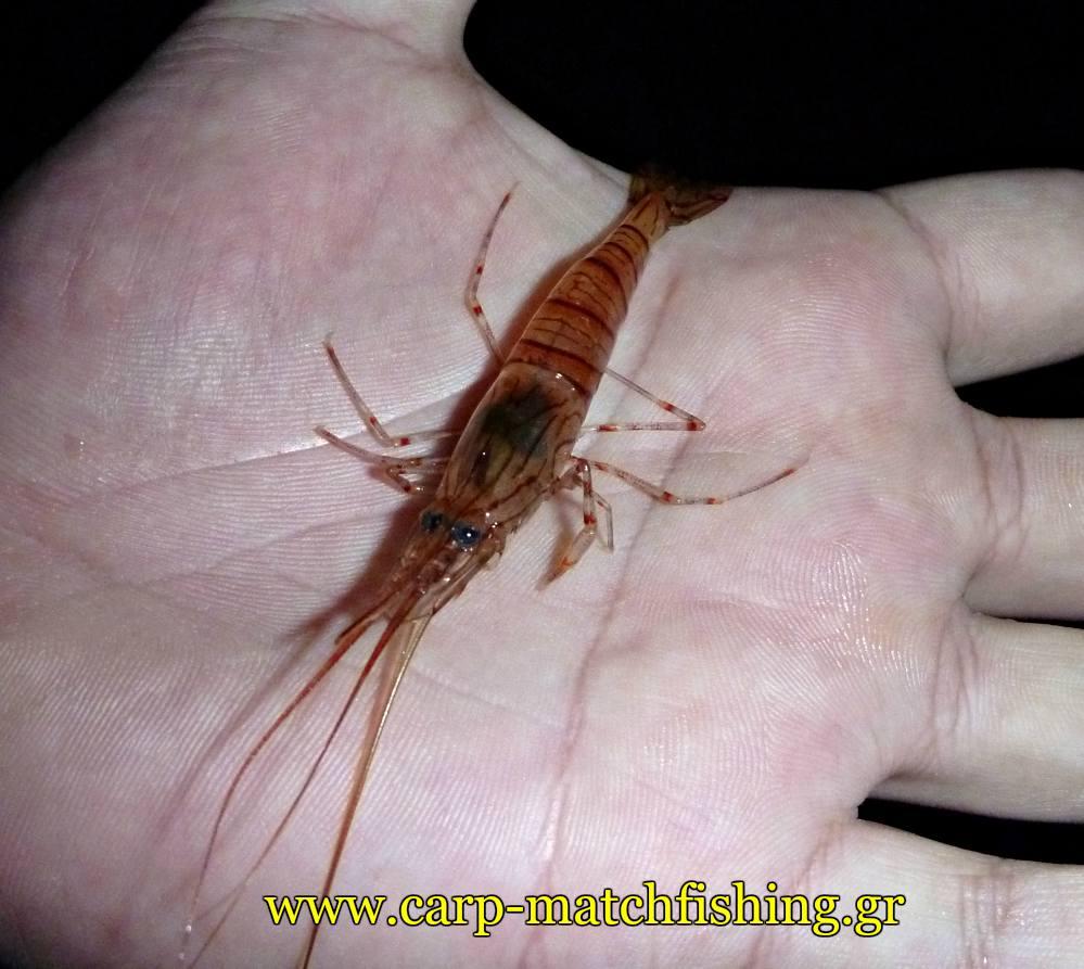 matchfishing-garida-prawn-angry-fish-malagra-carpmatchfishing