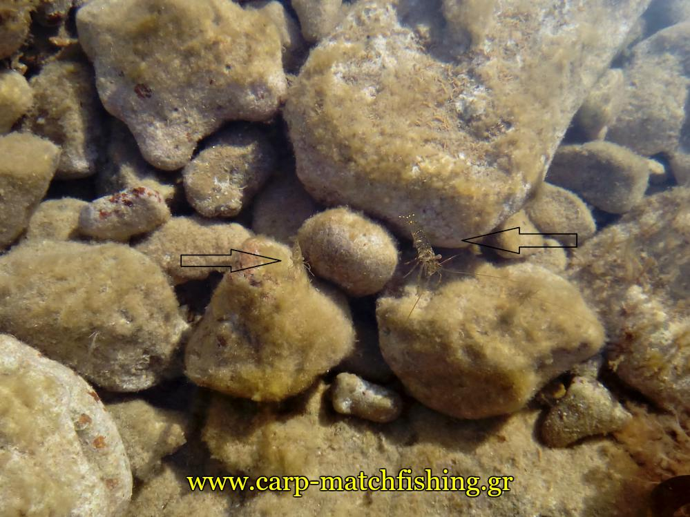 live-shrimps-rocks-carpmatchfishing