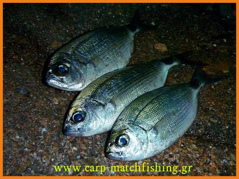 www.carp-matchfishing.gr. To ψάρεμα του μεγάλου μελανουριού με ζωντανό δόλωμα