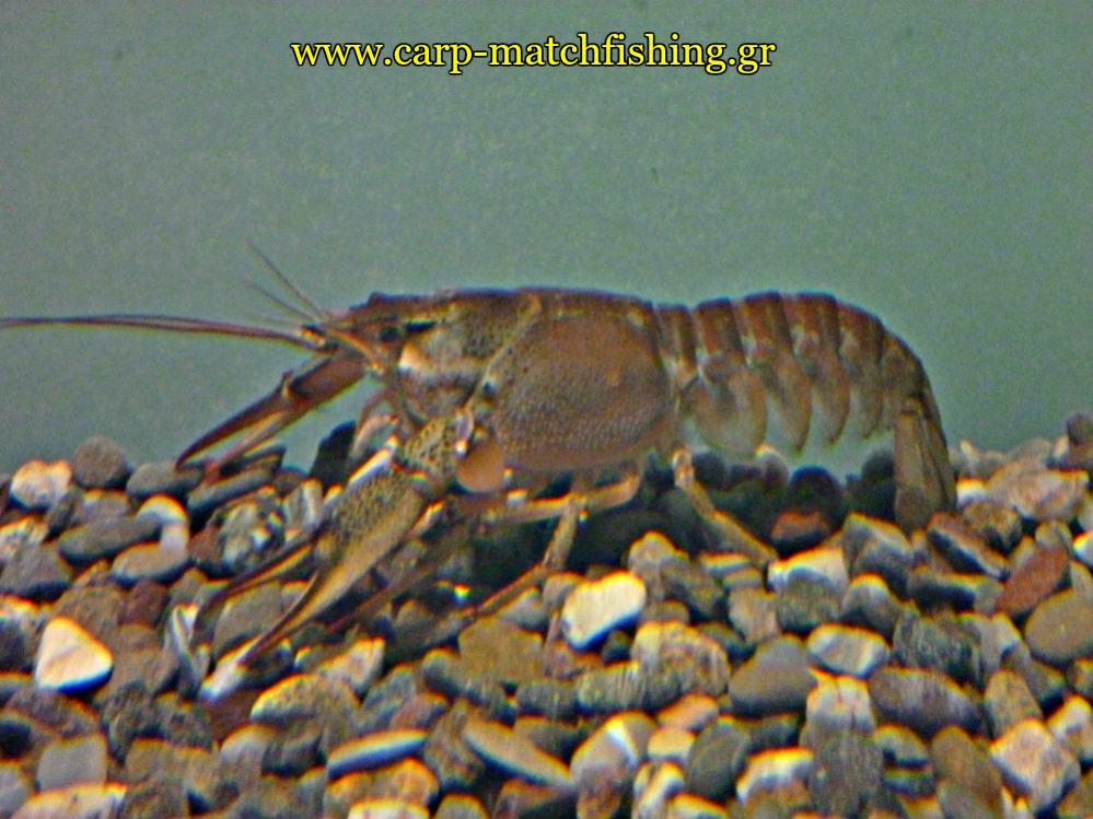 enydreio kastorias karavida carpmatchfishing