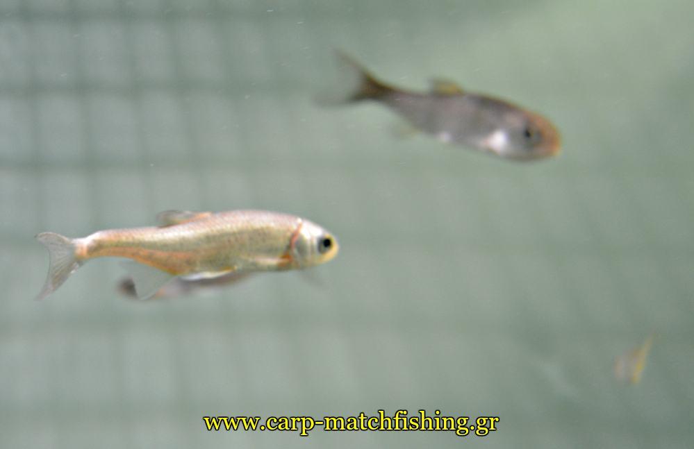 enydreio kastorias koynoypopsaro carpmatchfishing