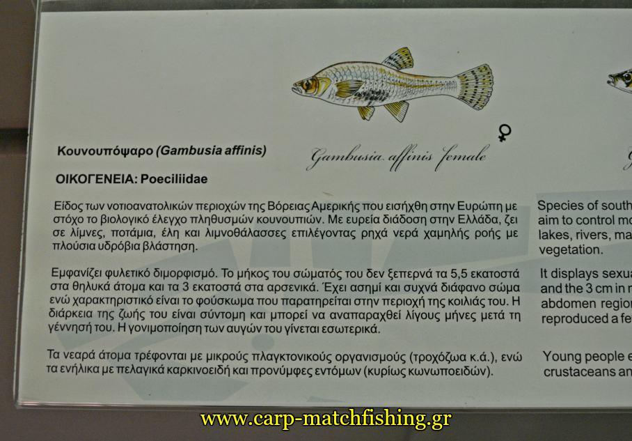 enydreio kastorias pinakas carpmatchfishing