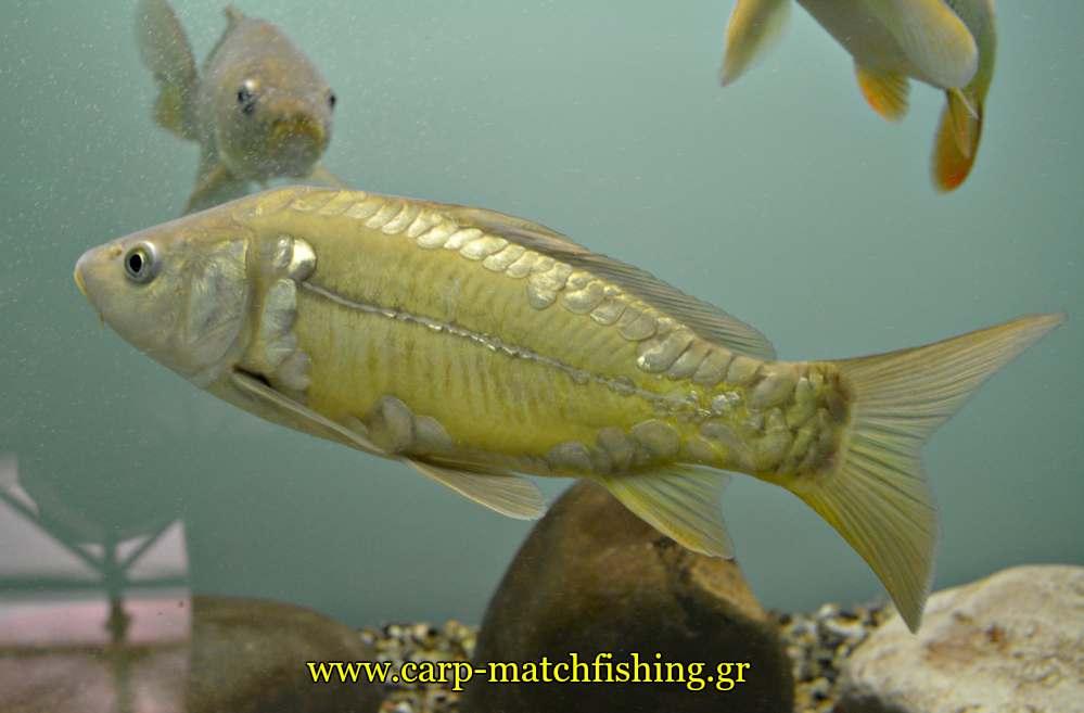 enydreio kastorias carp mirror carpmatchfishing