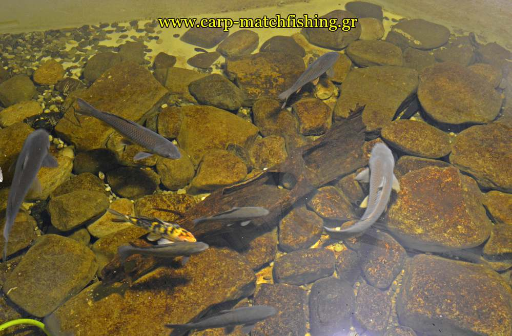 enydreio kastorias carps carpmatchfishing