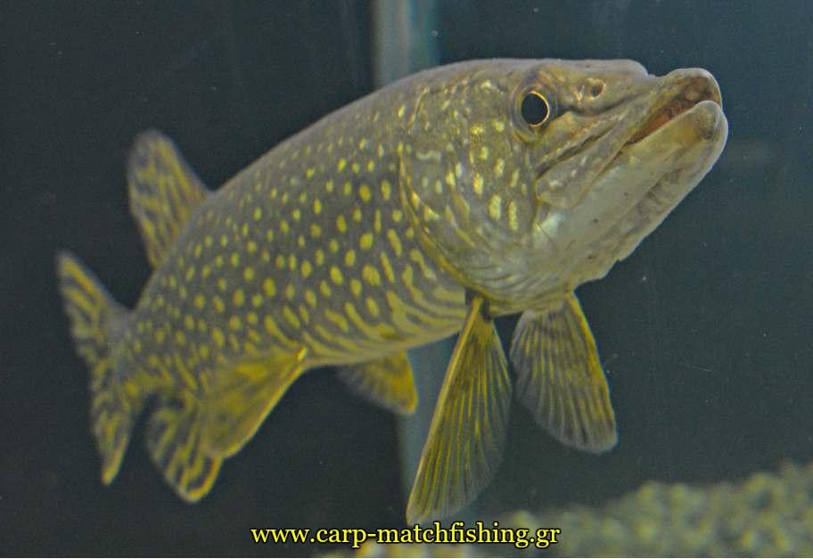 enydreio kastorias pike tourna carpmatchfishing