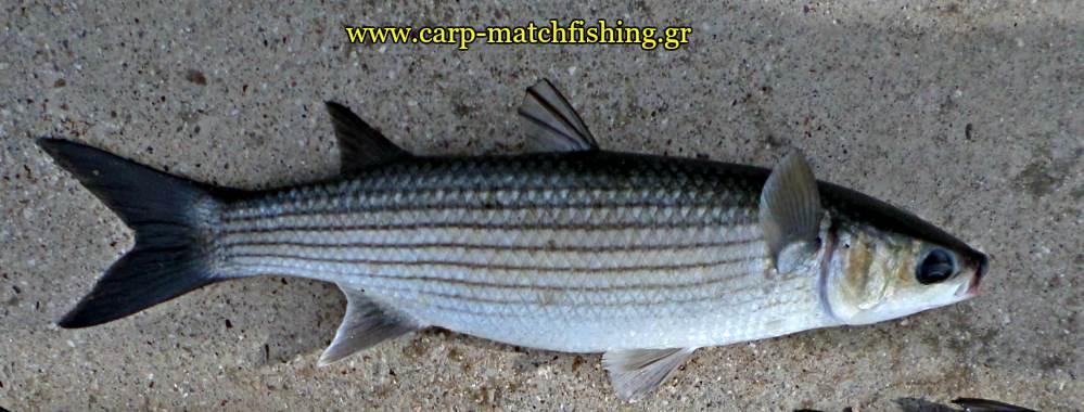matchfishing-mullet-kefalos-carpmatchfishing