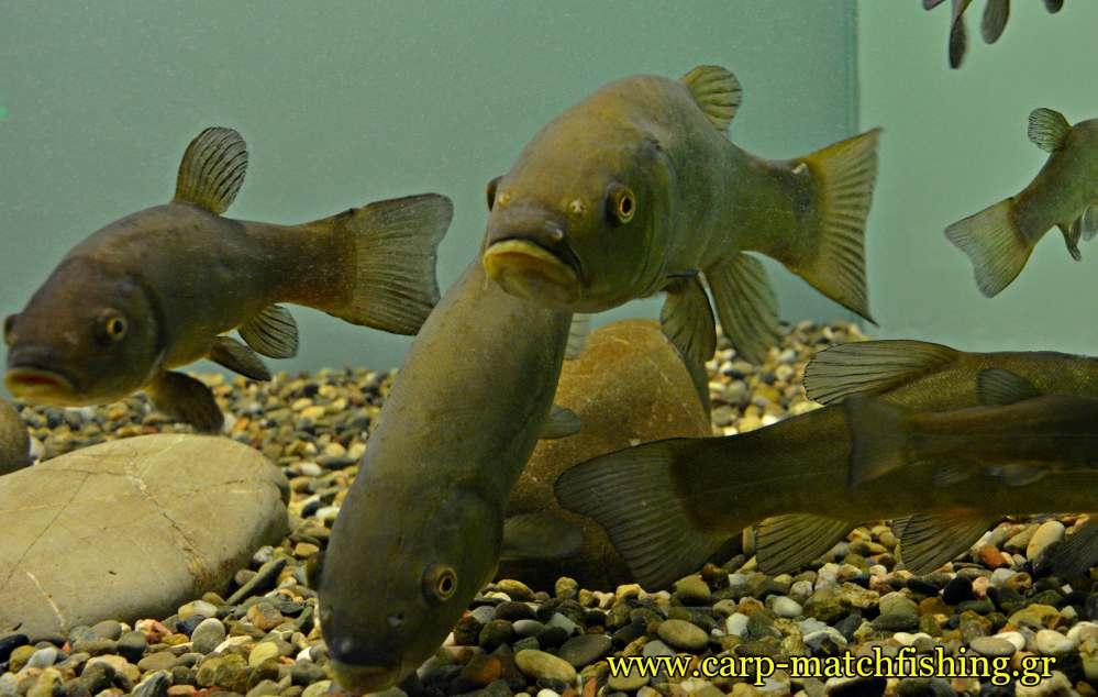enydreio kastorias glinia carpmatchfishing
