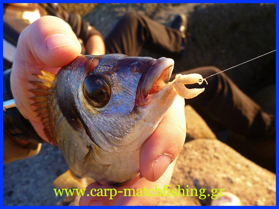 sargos-maggots-biggattino-carp-matchfishing-gr.jpg