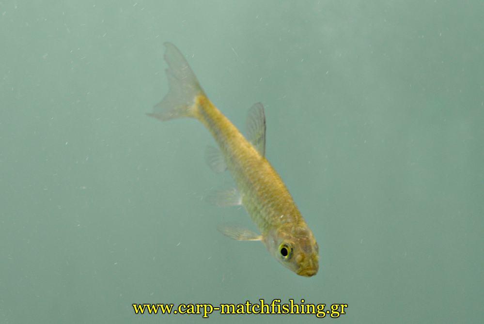 enydreio kastorias mikro psari carpmatchfishing
