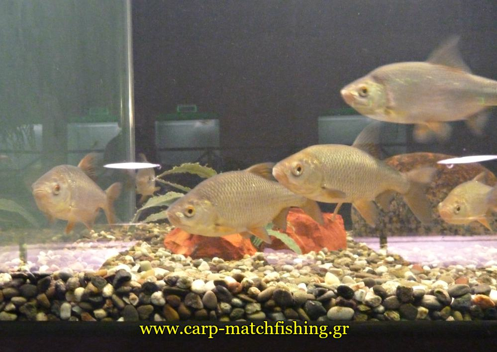 enydreio kastorias tsironia carpmatchfishing