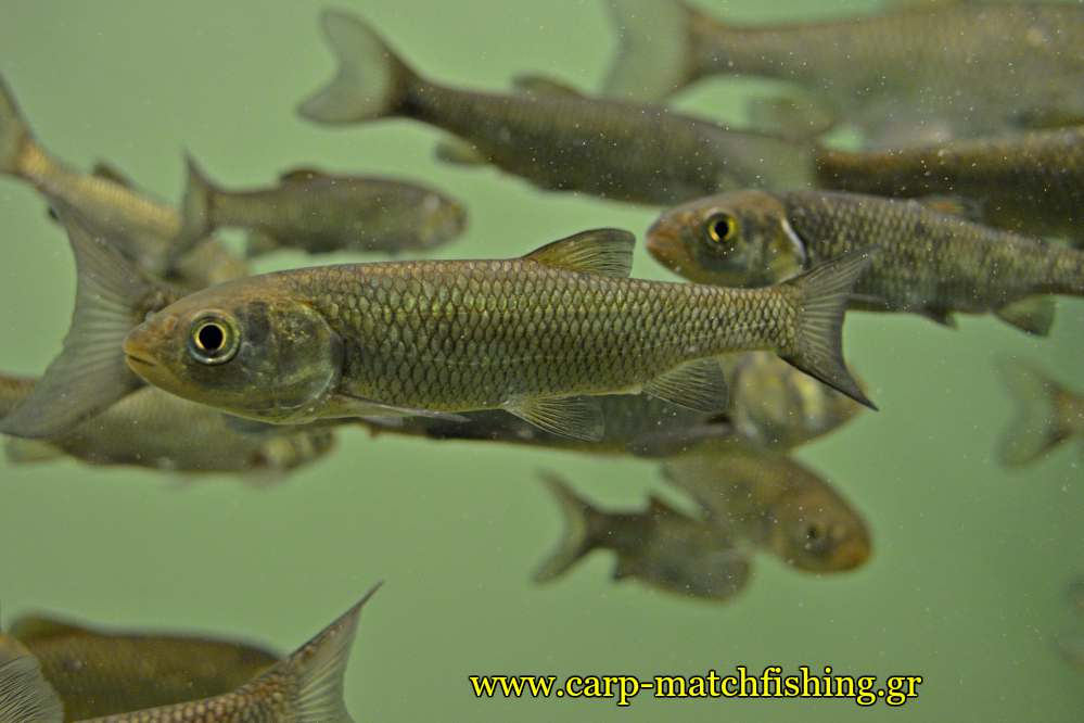 enydreio kastorias chub kefalos carpmatchfishing