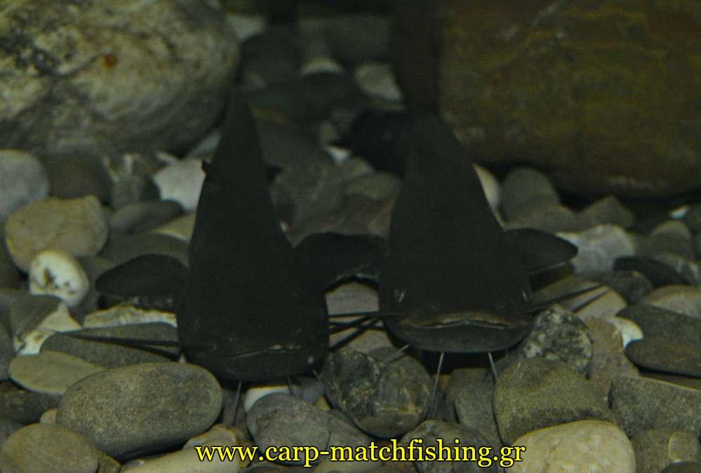 enydreio kastorias goylianoi catfish carpmatchfishing