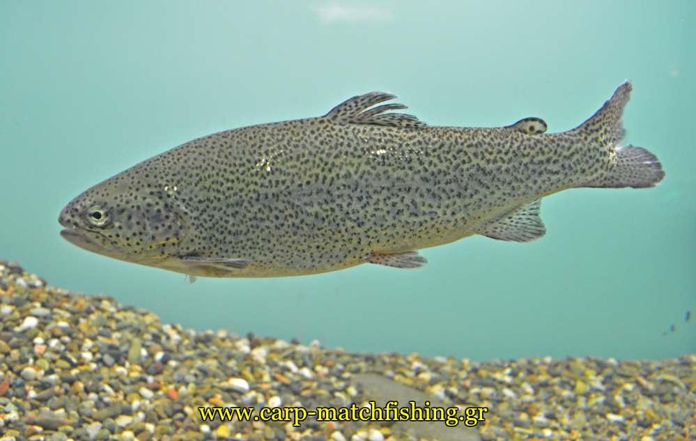 enydrio kastorias trout pestrofa carpmatchfishing
