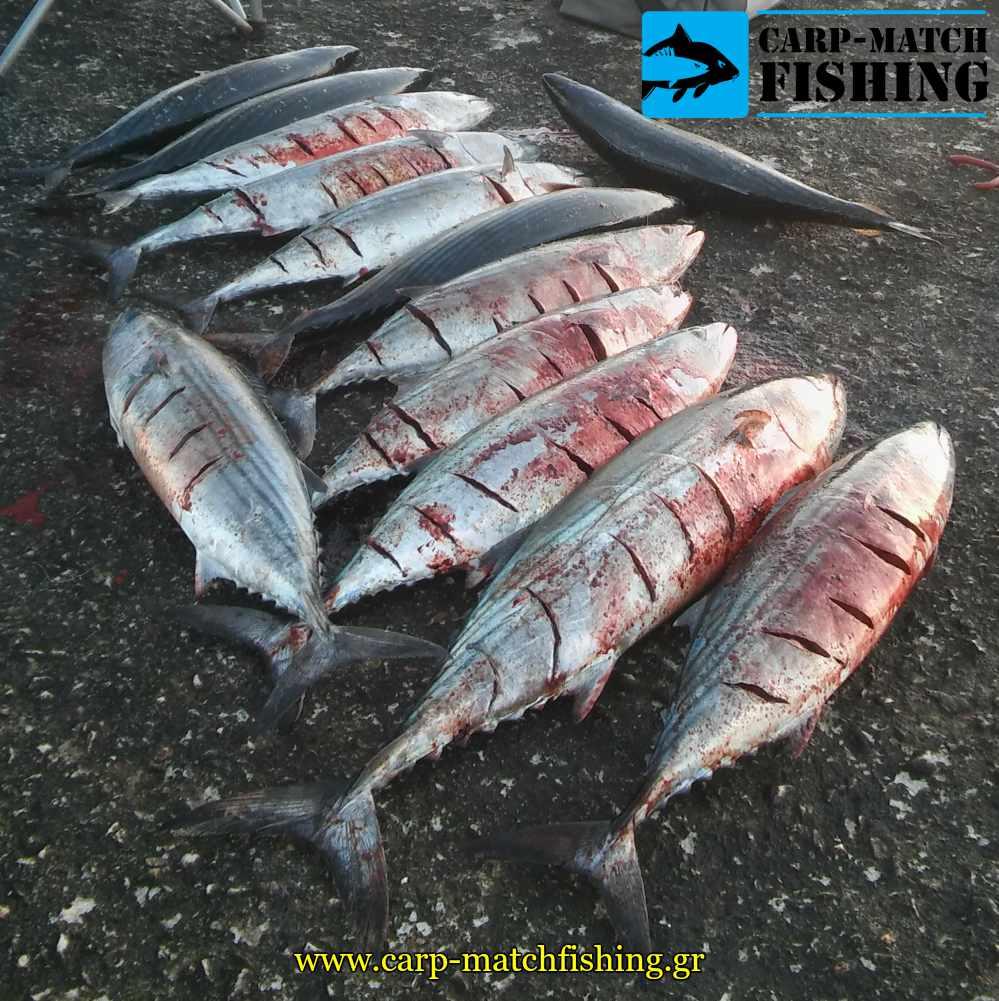 palamides casting carpmatchfishing