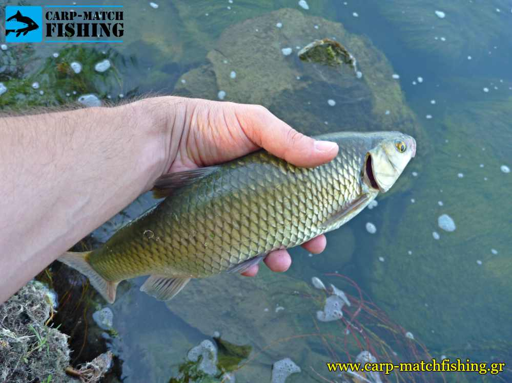 catch and release kefalos chub carpmatchfishing