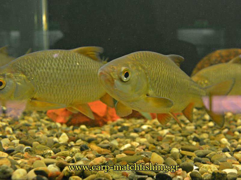 enydreio kastorias kokkinofteres carpmatchfishing