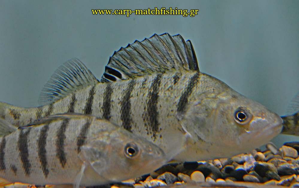 enydreio kastorias perch perka priki carpmatchfishing