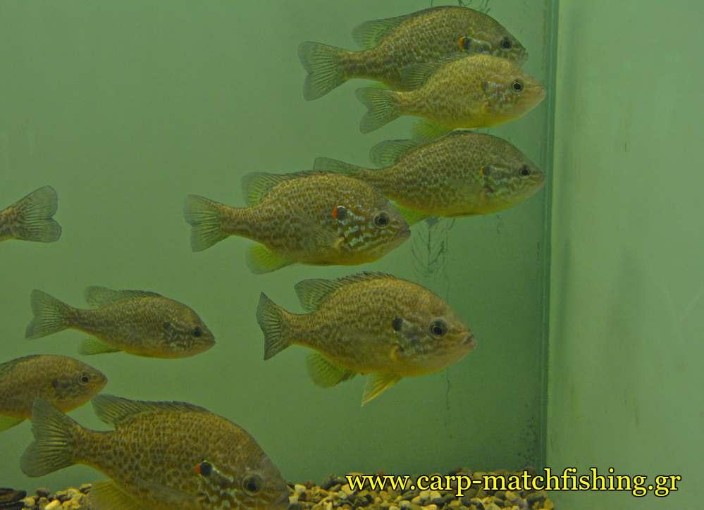 enydreio kastorias hliopsaro carpmatchfishing