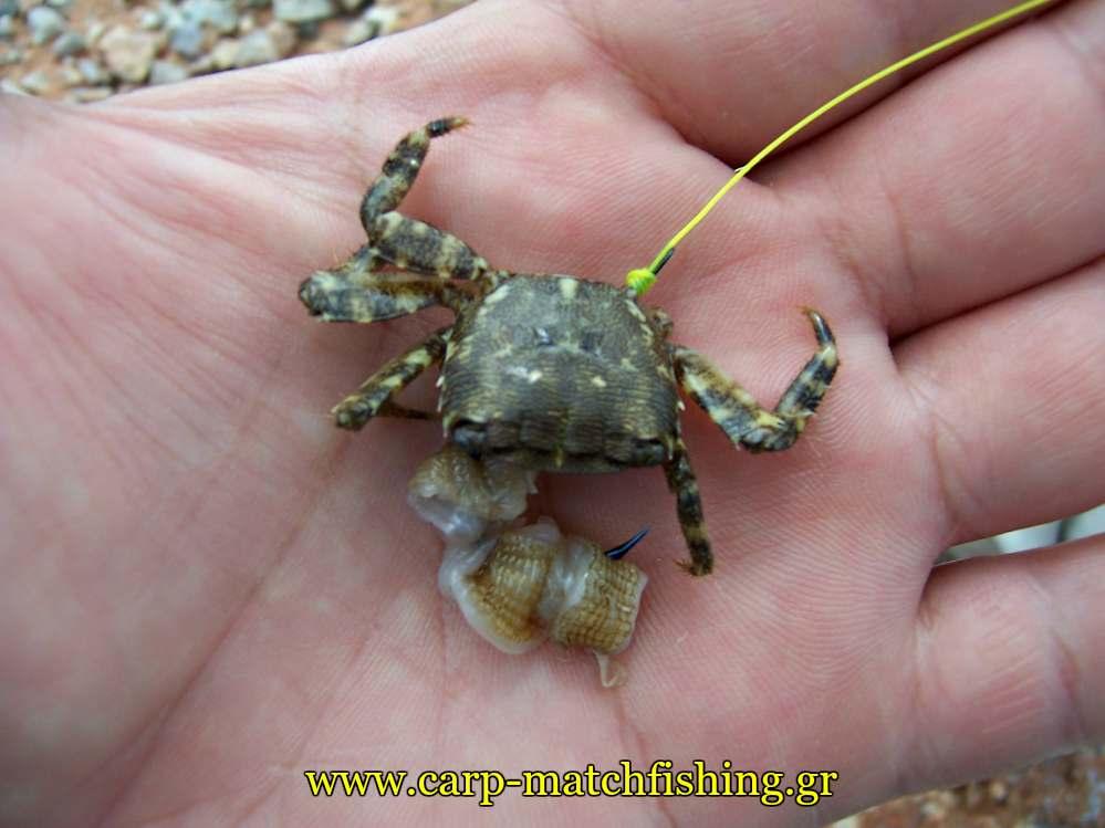 kavouri-crab-kai-mana-carpmatchfishing