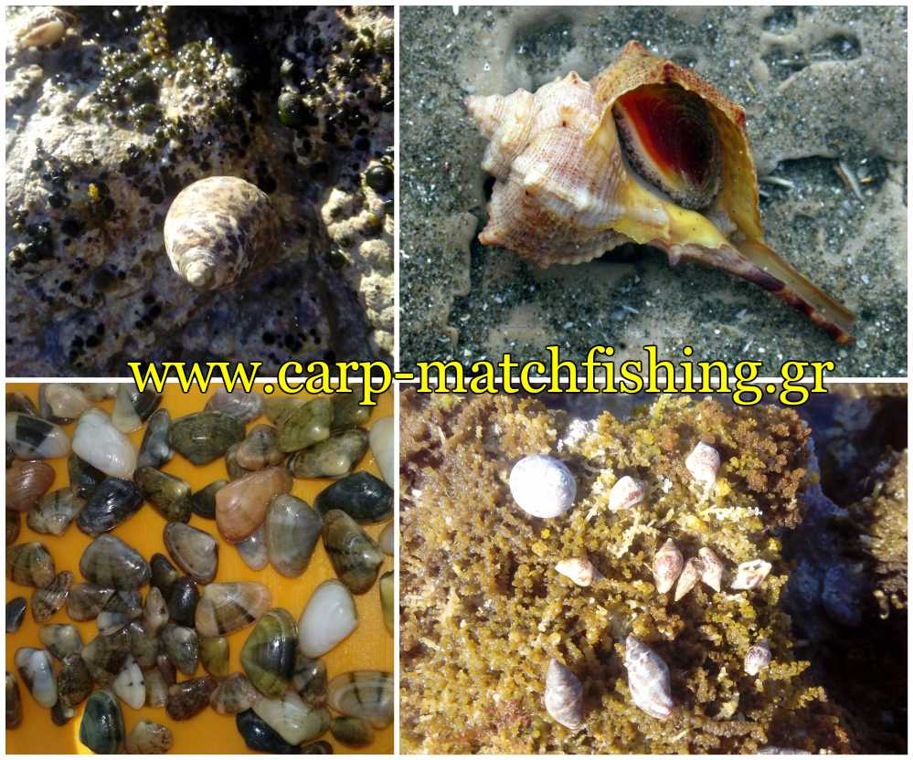 porfyres-koxylia-saliggaria-dolomata-thalassa-psarema-carpmatchfishing