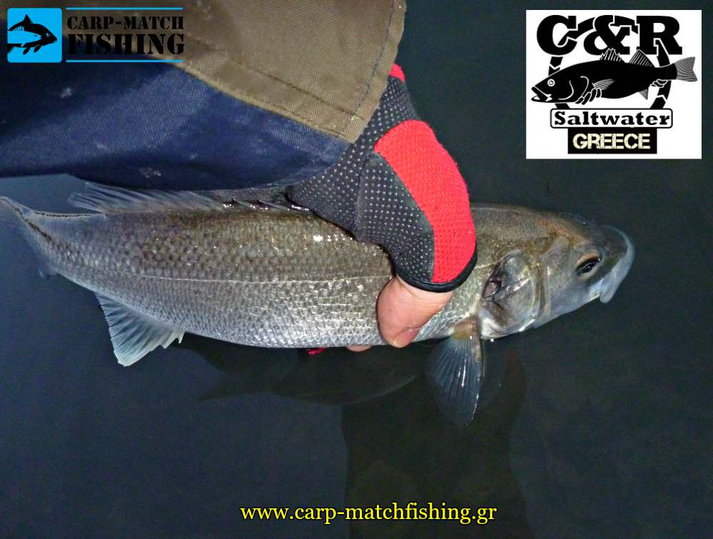catch and release lavraki sea bass carpmatchfishing